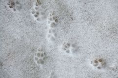 Печать лапки собаки в снеге Трассировки ног собаки в снеге Трассировки животных в снеге - изображение стоковые изображения