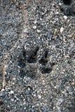 Печать лапки собаки на пляже стоковые фото