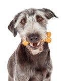 Печенье нося косточки собаки в рте Стоковые Фото