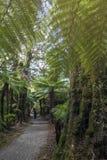 Пеший трек к реветь Билли понижается среди деревьев тропического леса и папоротника, Новой Зеландии стоковое изображение rf