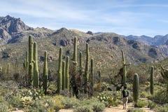 Пеший туризм в Tucson Аризоне Стоковые Изображения