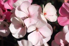 Пеларгония цветет бледное - пинк Стоковое Изображение RF