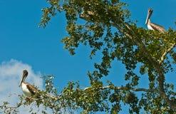 2 пеликана Брайна ослабляя в дереве Стоковые Изображения RF