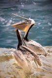 2 пеликана Брайна показывая мешок горла на скалах в La Jolla, Калифорнии США Стоковая Фотография RF