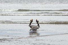 2 пеликана в предусматривая представлении Стоковые Изображения