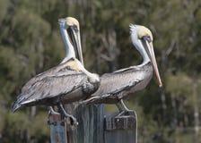 2 пеликана на вахте и один пробуя спать Стоковые Изображения RF