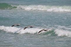 3 пеликана на океане Стоковые Фото