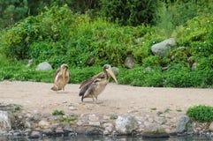 2 пеликана на песочном побережье Стоковые Фото