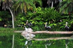 3 пеликана, один egret Стоковые Изображения