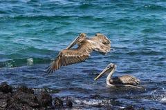 2 пеликана, одного летая, одного плавая Стоковые Фотографии RF
