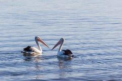 2 пеликана плавая в океан Стоковое фото RF