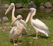 3 пеликана Стоковая Фотография