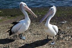 2 пеликана Стоковое Изображение RF