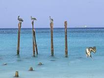 Пеликаны Аруба стоковые изображения
