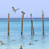 Пеликаны Аруба стоковые фотографии rf