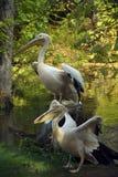 пеликаны белые стоковое фото