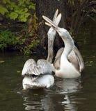 пеликаны белые стоковые изображения rf