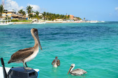 Пеликаны Брайна в карибском море рядом с тропическим раем co стоковая фотография