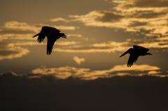 Пеликаны Брайна летая на заход солнца, Playa Gigante, Никарагуа Стоковое Изображение