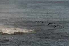 Пеликаны Брайна летая над Тихим океаном в La Jolla, Калифорнии, США стоковая фотография rf