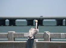 Пеликаны Брайна Флорида, южная мола, Мексиканский залив Стоковые Фото