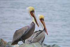 Пеликаны Брайна Стоковое Изображение