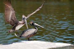 Пеликаны Брайна стоковая фотография