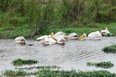 Пеликаны в воде, кратер Ngorongoro, Танзания стоковые изображения rf