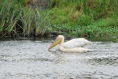 Пеликаны в воде, кратер Ngorongoro, Танзания стоковая фотография
