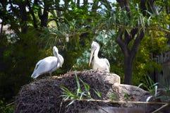 Пеликаны в гнезде стоковое изображение rf