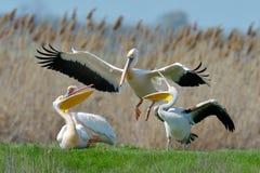 Пеликаны в естественной среде обитания стоковая фотография rf