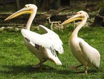 Пеликаны в зверинце стоковые фото