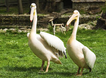 Пеликаны в зверинце стоковые изображения rf