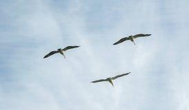 Пеликаны в небе Стоковые Фотографии RF