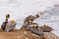 Пеликаны вложенности Стоковое фото RF