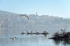 Пеликаны в озере стоковое изображение rf