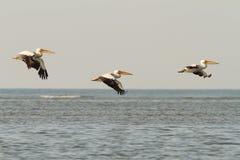 Пеликаны в полете над морем Стоковые Изображения