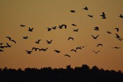 Пеликаны в свете утра Стоковое фото RF