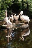 Пеликаны группы Стоковое Изображение RF