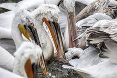 Пеликаны есть рыб Стоковое фото RF
