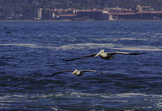 Пеликаны летания Стоковое Изображение
