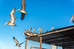 Пеликаны летания стоковое фото rf