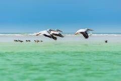 Пеликаны живой природы Флориды летая над Willets Стоковые Фото