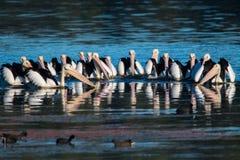 Пеликаны звероловства Стоковые Фото