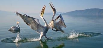 Пеликаны игры Стоковая Фотография