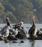 Пеликаны и чайки 1 Стоковое Изображение
