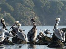 Пеликаны и чайки 2 Стоковые Изображения RF