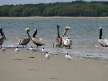 Пеликаны идя в прибой стоковая фотография rf