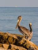 Пеликаны моря на рифе Стоковые Фото