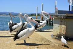 Пеликаны на береге в городском центре Mallacoota Стоковая Фотография